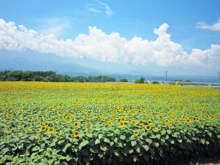 北杜市明野町のひまわり畑